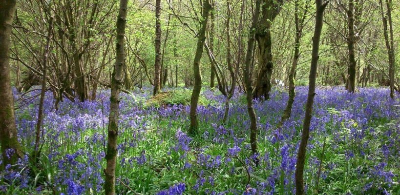 Bluebells in Savernake Forest